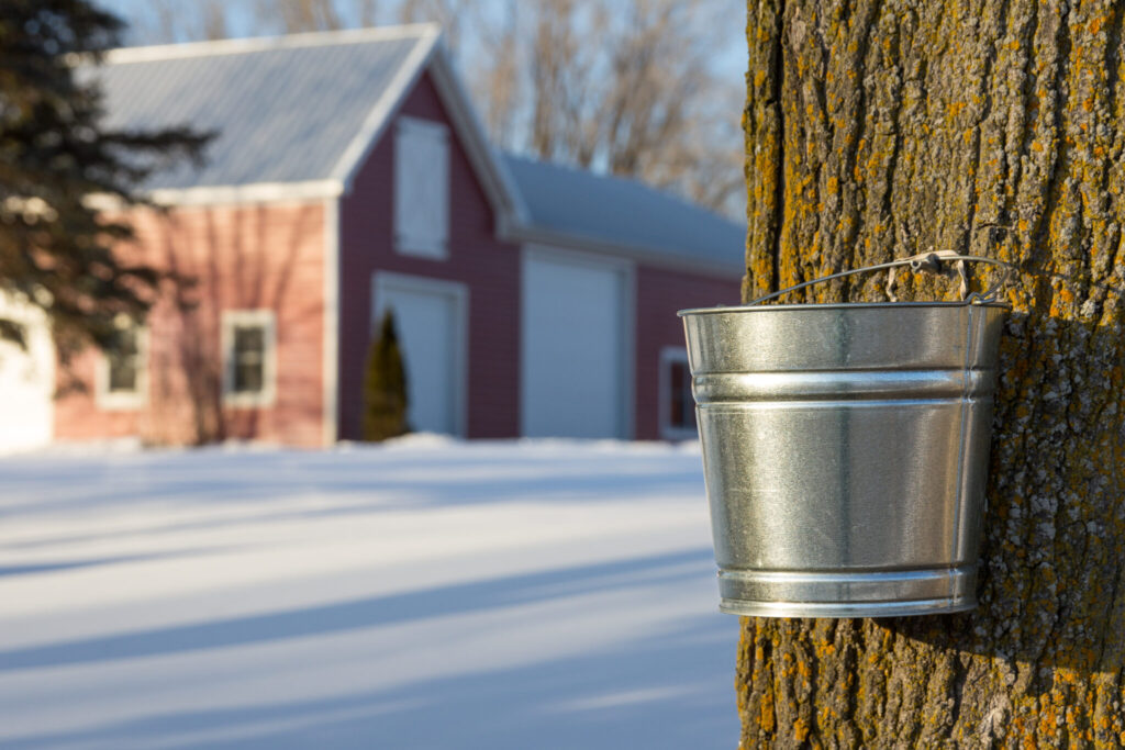 Maple Syrup Tapping in Phelps Wisconsin