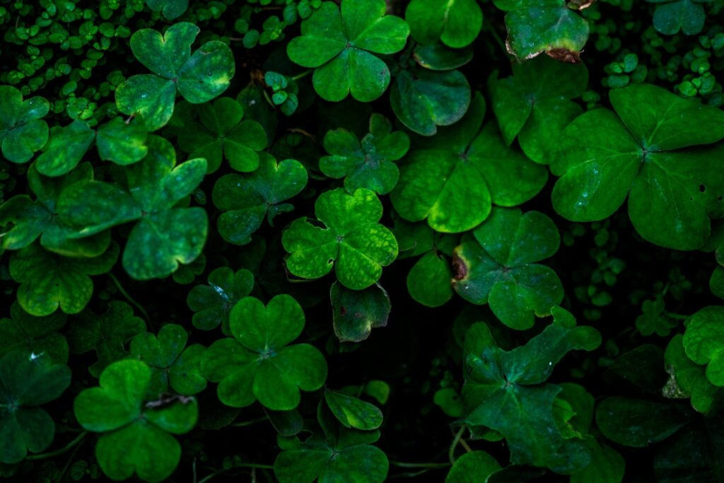 close-up-photo-of-green-clover-plants-544967